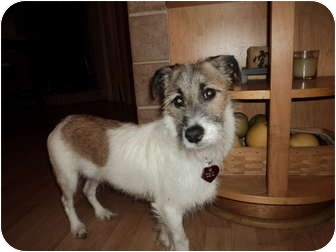 Jack Russell Terrier Mix Dog for adoption in Miami-Dade and Naples/Ft Myers areas, Florida - CHESTER