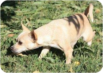Chihuahua Mix Dog for adoption in Yuba City, California - Ali