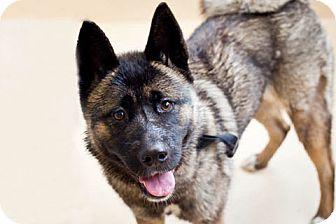 Akita Dog for adoption in Hayward, California - Maddie