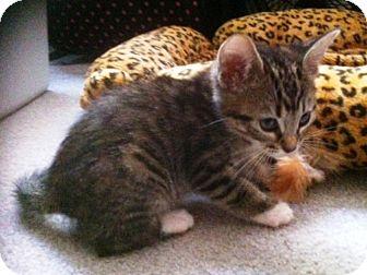 Domestic Shorthair Cat for adoption in Las Vegas, Nevada - Nancie