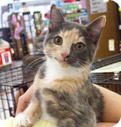 Domestic Mediumhair Cat for adoption in Sacramento, California - Dancer N