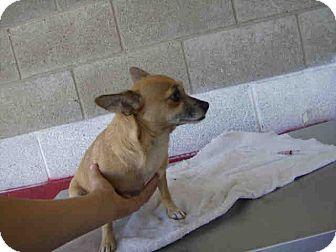 Chihuahua Mix Dog for adoption in Las Vegas, Nevada - Cha Cha