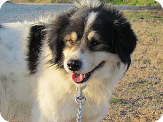 Collie Mix Dog for adoption in Bedminster, New Jersey - BANDY
