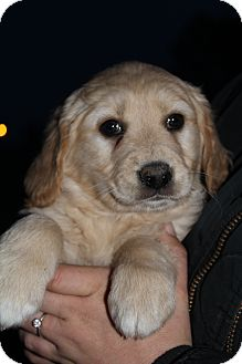 Golden Retriever Mix Puppy for adoption in Hagerstown, Maryland - Trace Adkins