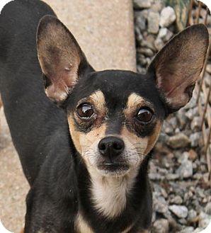Chihuahua Mix Dog for adoption in Marion, North Carolina - Tatti