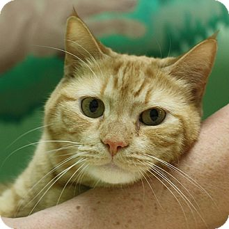 Domestic Shorthair Cat for adoption in Lyons, New York - Rascal