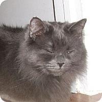 Domestic Longhair Cat for adoption in Mississauga, Ontario, Ontario - Odessa