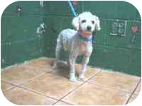 Poodle (Toy or Tea Cup) Dog for adoption in San Diego (all areas), California - Giselle-I've been adopted!!!