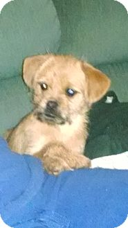 Border Terrier/Shih Tzu Mix Puppy for adoption in Gallatin, Tennessee - Hannah