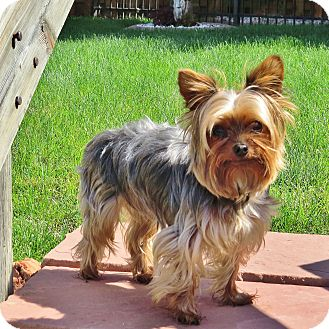 Yorkie, Yorkshire Terrier Dog for adoption in Parker, Colorado - BAMA