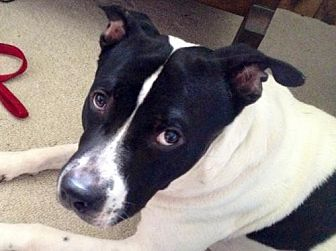 American Pit Bull Terrier Mix Dog for adoption in Fredericksburg, Virginia - Cooper- Courtesy Listing