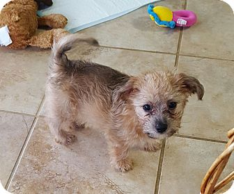 Yorkie, Yorkshire Terrier/Chihuahua Mix Puppy for adoption in Huntsville, Alabama - Franklin
