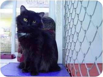 Domestic Longhair Cat for adoption in Coleraine, Minnesota - Shenna