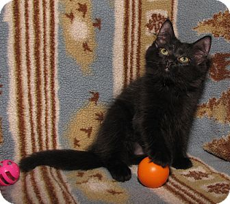 Domestic Mediumhair Kitten for adoption in Gainesville, Virginia - Sarah Smiles