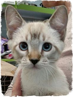 Siamese Kitten for adoption in Pueblo West, Colorado - 5