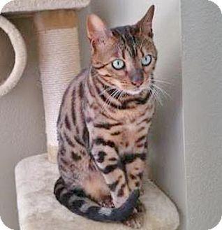 Bengal Cat for adoption in Davis, California - Keegan
