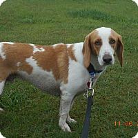 Basset Hound/Beagle Mix Dog for adoption in haslet, Texas - henry
