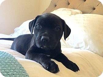Rottweiler Mix Puppy for adoption in Concord, California - Bane