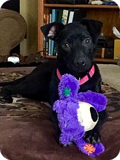 Labrador Retriever/Pit Bull Terrier Mix Puppy for adoption in New York, New York - Bonnie