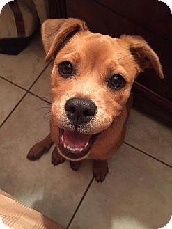 Pug/Beagle Mix Puppy for adoption in Davie, Florida - Bailey