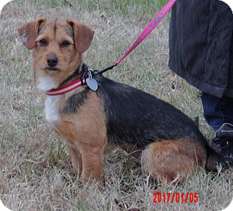 Border Terrier/Terrier (Unknown Type, Small) Mix Dog for adoption in Niagara Falls, New York - Lilly (13 lb) Sweetie Pie!
