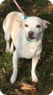 Chihuahua/Jack Russell Terrier Mix Dog for adoption in Breinigsville, Pennsylvania - Lukie **in a foster home**