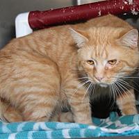 Domestic Shorthair Cat for adoption in Marietta, Ohio - Gabriel (Neutered)