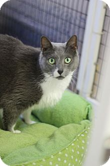 Domestic Shorthair Cat for adoption in Covington, Louisiana - Lily Grace