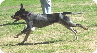 Bluetick Coonhound/Australian Cattle Dog Mix Dog for adoption in Ontario, Ontario - Shadow-Adopted
