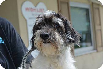 Havanese Dog for adoption in Midland Park, New Jersey - Zuul