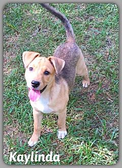 Labrador Retriever/Shepherd (Unknown Type) Mix Puppy for adoption in DeForest, Wisconsin - Kaylinda