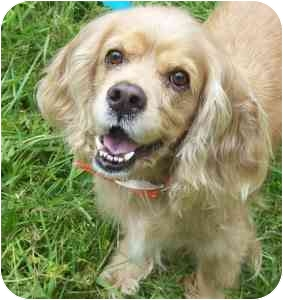 Cocker Spaniel Dog for adoption in Portsmouth, Rhode Island - Carla the Cocker