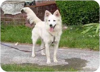 American Eskimo Dog Mix Dog for adoption in Radford, Virginia - Sophie