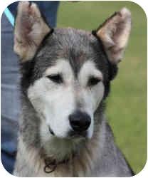 Siberian Husky Dog for adoption in Marion, Arkansas - Kade