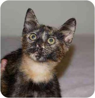Domestic Shorthair Kitten for adoption in Houston, Texas - Anna Georgia