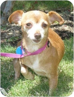 Chihuahua/Dachshund Mix Dog for adoption in Carrollton, Texas - Amber