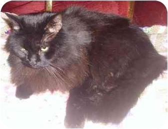 Domestic Longhair Cat for adoption in Medford, Massachusetts - Zena
