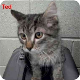 Domestic Mediumhair Kitten for adoption in Slidell, Louisiana - Ted