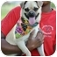 Photo 3 - Pug Mix Dog for adoption in Portsmouth, Rhode Island - Bianca