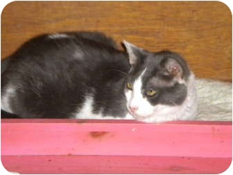 Domestic Shorthair Cat for adoption in Cleveland, Ohio - Duncan