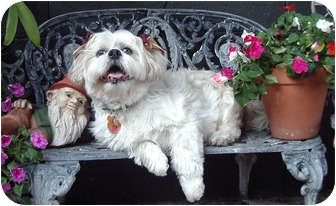Lhasa Apso Mix Dog for adoption in Los Angeles, California - Buddy