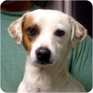 Jack Russell Terrier Mix Dog for adoption in Manassas, Virginia - Sam