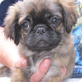 Pug/Pekingese Mix Puppy for adoption in Hagerstown, Maryland - Casey