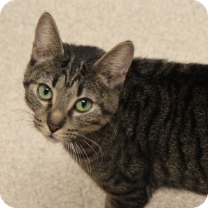 Domestic Shorthair Cat for adoption in Naperville, Illinois - Ms. Chris