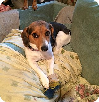 Beagle/Jack Russell Terrier Mix Dog for adoption in Richmond, Virginia - Jackee