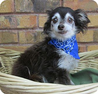 Chihuahua Mix Dog for adoption in Benbrook, Texas - Mater