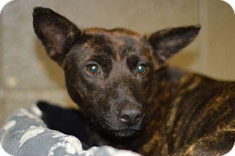 Shepherd (Unknown Type) Mix Dog for adoption in Henderson, North Carolina - Morgan