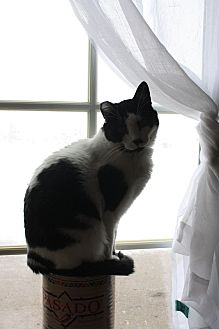 Domestic Shorthair Cat for adoption in Rawlins, Wyoming - Moo