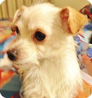 Terrier (Unknown Type, Small) Mix Dog for adoption in Seward, Alaska - Samm