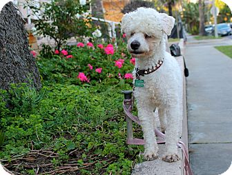 Poodle (Miniature) Mix Dog for adoption in Los Angeles, California - Doyle